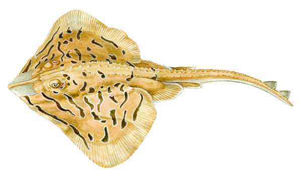 Clearnose Skate