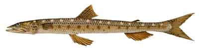 015-Inshore_Lizardfish copy