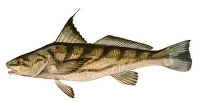 110-Northern_Kingfish