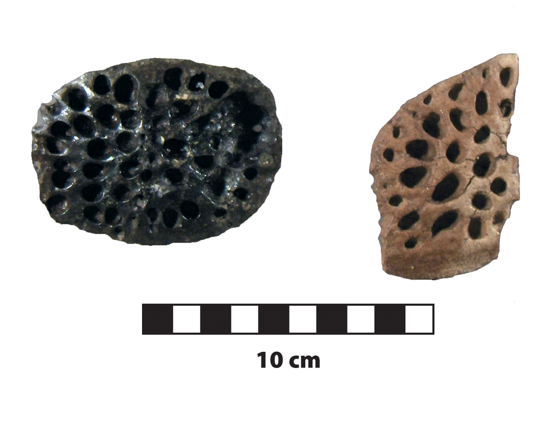Crocodile scutes