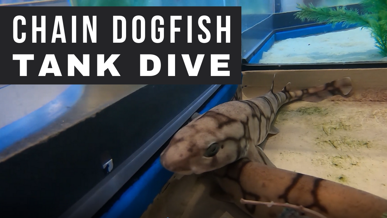 Chain Dogfish Tank Dive Opens in new window